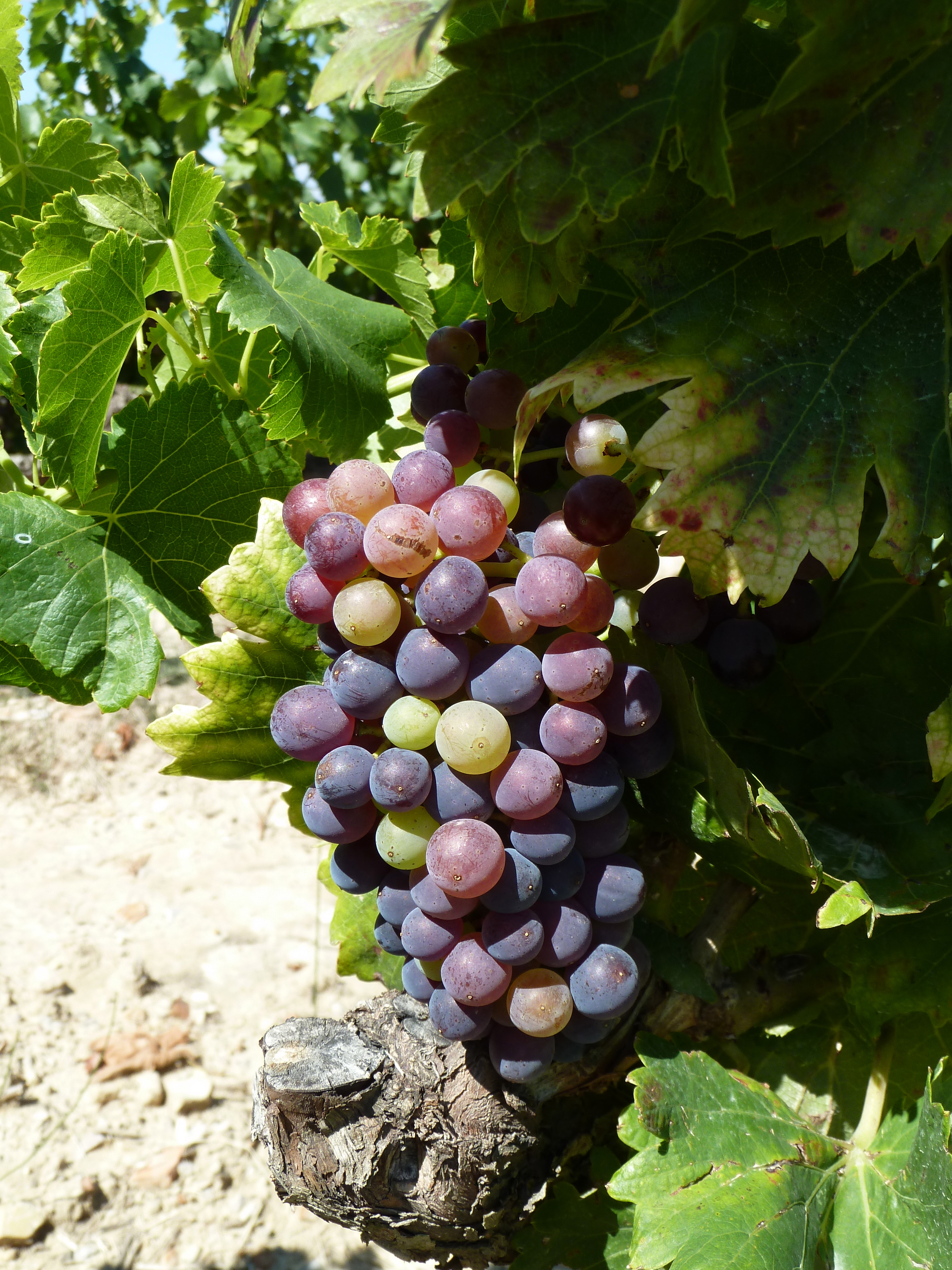 Veraison is the time of year when the grape kermels swell and turn green to bright red for black grapes.